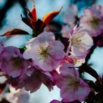 花見・新宿御苑・2