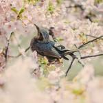 花見・鳥と桜