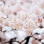 花見・新宿御苑